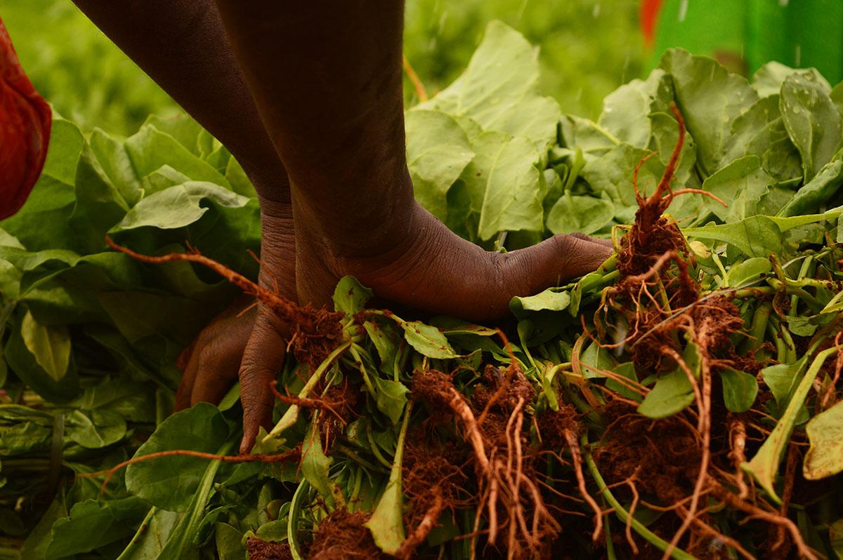 CU harvesting spinach 1